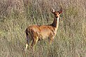 Swamp deer (Cervus duvaucelii branderi) juvenile male.jpg