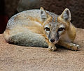 Swift Fox Oklahoma City Zoo 02.jpg