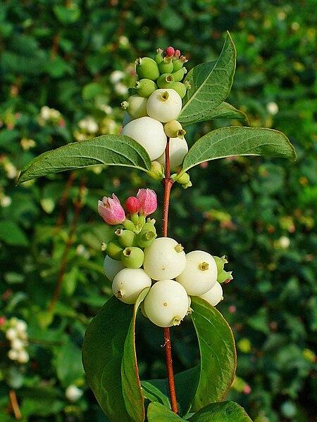 la fleur de larbre aux perles