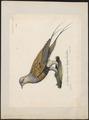 Syrrhaptes paradoxus - 1825-1834 - Print - Iconographia Zoologica - Special Collections University of Amsterdam - UBA01 IZ16900059.tif