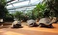 TPH Riesenschildkröten im umgestalteten Schildkrötenhaus.tif