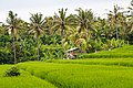 Tabanan-Regency Indonesia Rice-paddies-09.jpg