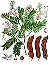 Tamarindus indica - Köhler–s Medizinal-Pflanzen-134.jpg