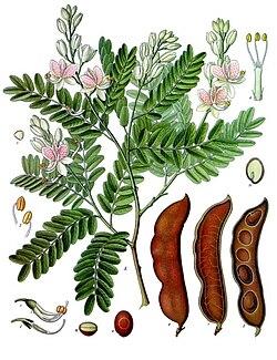 Palabras encadenadas - Página 4 250px-Tamarindus_indica_-_K%C3%B6hler%E2%80%93s_Medizinal-Pflanzen-134
