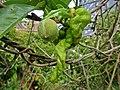 Taphrina deformans (Taphrinaceae), Nijmegen, the Netherlands - 3.jpg