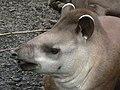 Tapirus terrestris face.jpg