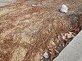 Tapis de racines de platane sous trottoir Platanus root mat under sidewalk Lille northern France 17.jpg