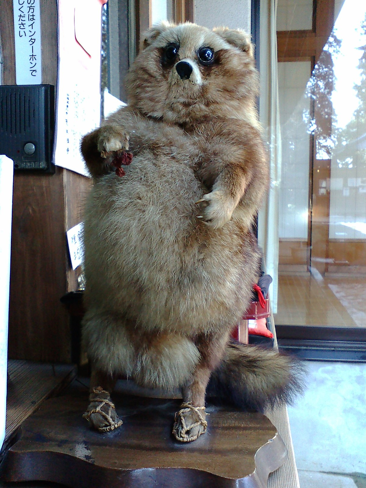 Taxidermy of Raccoon Dog-Morinji, Tatebayashi, Gunma.JPG