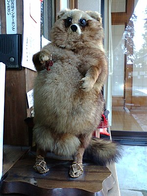 Bunbuku Chagama - Taxidermy of a Japanese raccoon dog (tanuki), wearing waraji on its feet and standing, displayed in Morinji where the folktale of Bunbuku Chagama is based. Tatebayashi, Gunma Prefecture