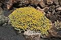 Teguise Guatiza - Jardin - Euphorbia polyacantha 01 ies.jpg