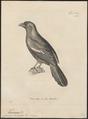 Temnurus leucopterus - 1700-1880 - Print - Iconographia Zoologica - Special Collections University of Amsterdam - UBA01 IZ15700077.tif