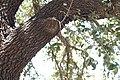 Texas live oak AKA plateau oak - Quercus fusiformis.jpg