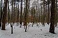 Texel - Dunningsweg - View NNW on Beech Wood in Winter.jpg