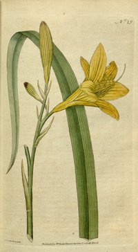 The Botanical Magazine, Plate 19 (Volume 1, 1787).png