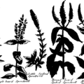 The British herbal- an history of plants and trees, natives of Britain, cultivated for use, or raised for beauty Fleuron T029713-25.png