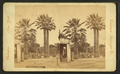 The Fan-leaf palm, from Robert N. Dennis collection of stereoscopic views.png