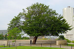 Oklahoma City National Memorial - After surviving the bombing, The Survivor Tree elm became an emblem of the Memorial.