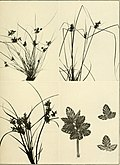 The book of grasses - an illustrated guide to the common grasses, and the most common of the rushes and sedges (1912) (14740713126).jpg