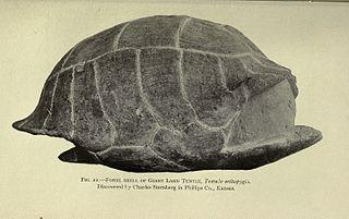 <i>Hesperotestudo</i> genus of turtle