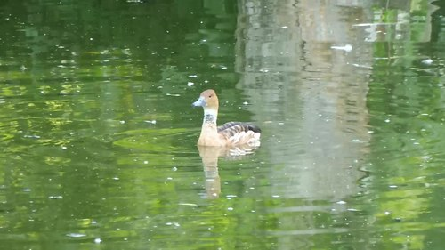 File:The whistle of the fulvous whistling duck.webm