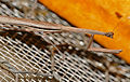 Thespid Mantis (Hoplocorypha macra) male (17163289258).jpg