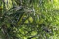 Thevetia peruviana 14zz.jpg