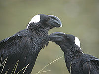 Thick-billed-Ravens