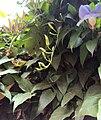 Thunbergia grandiflora 08.JPG