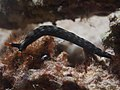 Thuridilla gracilis (14388553606).jpg