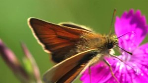 File:Thymelicus sylvestris -2010-06-28.ogv