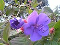 Tibouchina urvilleana flower leaves ja.jpg