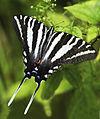 Tiger Swallowtail (9597196879).jpg