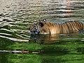 Tiger bathing.jpg