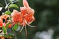 Tigerlilie (Lilium lancifolium) (15303173658).jpg