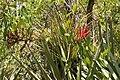 Tillandsia fasciculata 20090509.jpg