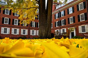 Timothy Dwight College - Fallen leaves of the ginkgo tree in Timothy Dwight.