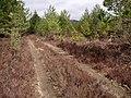 Track Through Plantation - geograph.org.uk - 779669.jpg