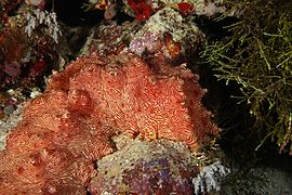 Treasure chest candycane sea cucumber 2
