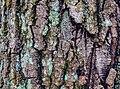 Tree Bark, Moss, Wild River State Park, Minnesota (46148855032).jpg