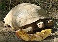 Tree Farm, Desert Tortoise12-8-12e (8297237405).jpg