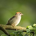 Tree sparrow (29204330826).jpg