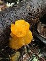 Tremella aurantia (Schwein.) Burt 856742.jpg