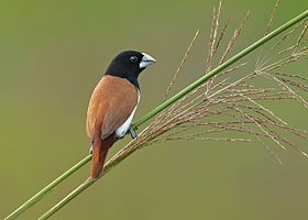 Tri colored munia.jpg