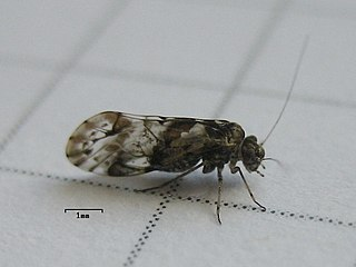 <i>Trichadenotecnum</i> Genus of booklice