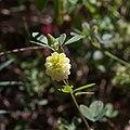 Trifolium campestre-Trèfle jaune-Fleur-20160603.jpg