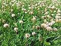 Trifolium fragiferum (subsp. fragiferum) sl14.jpg