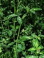 Trifolium pratense - leaves.jpg