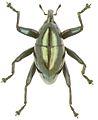 Trigonopterus viridescens holotype - ZooKeys-280-001-g098.jpg