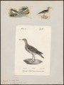 Tringoides macularius - 1700-1880 - Print - Iconographia Zoologica - Special Collections University of Amsterdam - UBA01 IZ17400141.tif
