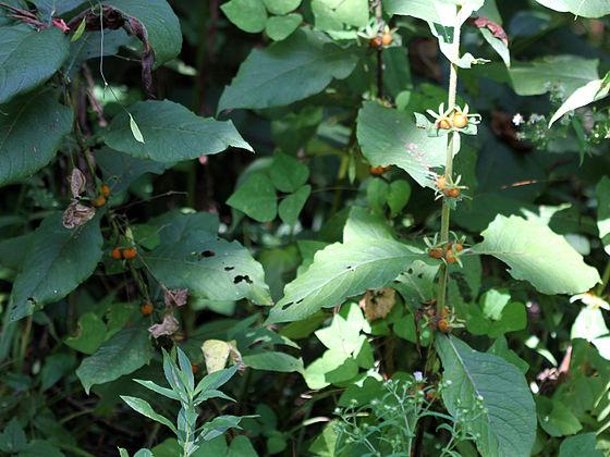 Triosteum aurantiacum SCA-6717.jpg